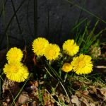 Heilpflanze Huflattich